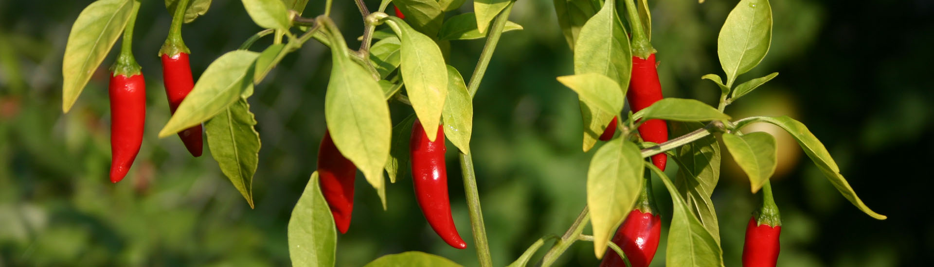 Peppers_02